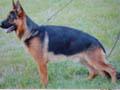 德国牧羊犬训练教程 (391播放)