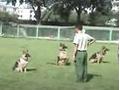 泰迪狗怎么驯养 大白熊犬训练 (9播放)