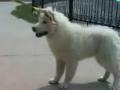 驯养与狗的交流 (13播放)